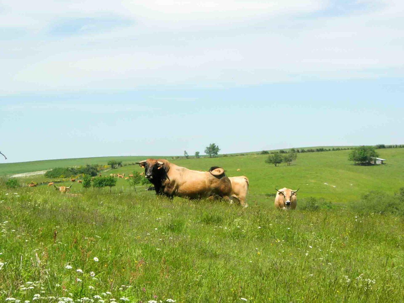 Troupeau de vaches en estive sur l'Aubrac