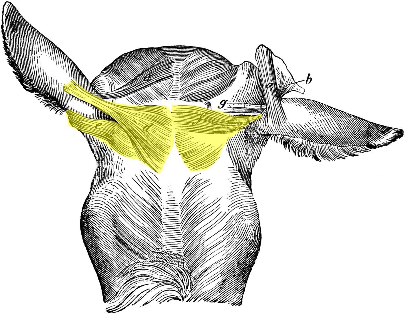 Muscles superficiels de la tête du cheval - vue de dessus (3) ; colorisation pour la mise en évidence des muscles auriculaires (zone têtière)