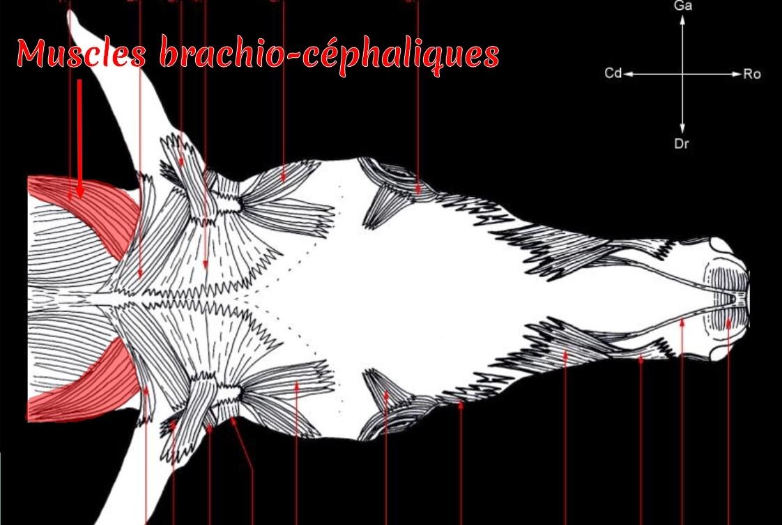 Planche anatomique des muscles superficiels de la tête - vue dorsale (2); colorisation pour la mise en évidence des muscles brachio-céphaliques (zone de la têtière)