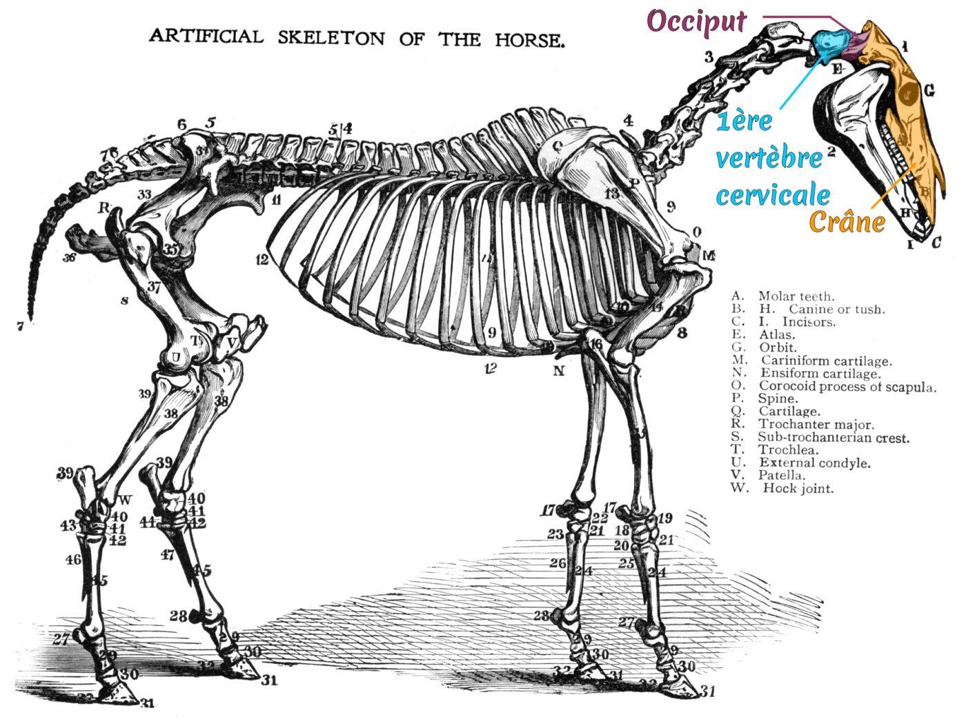 Squelette du cheval (1)