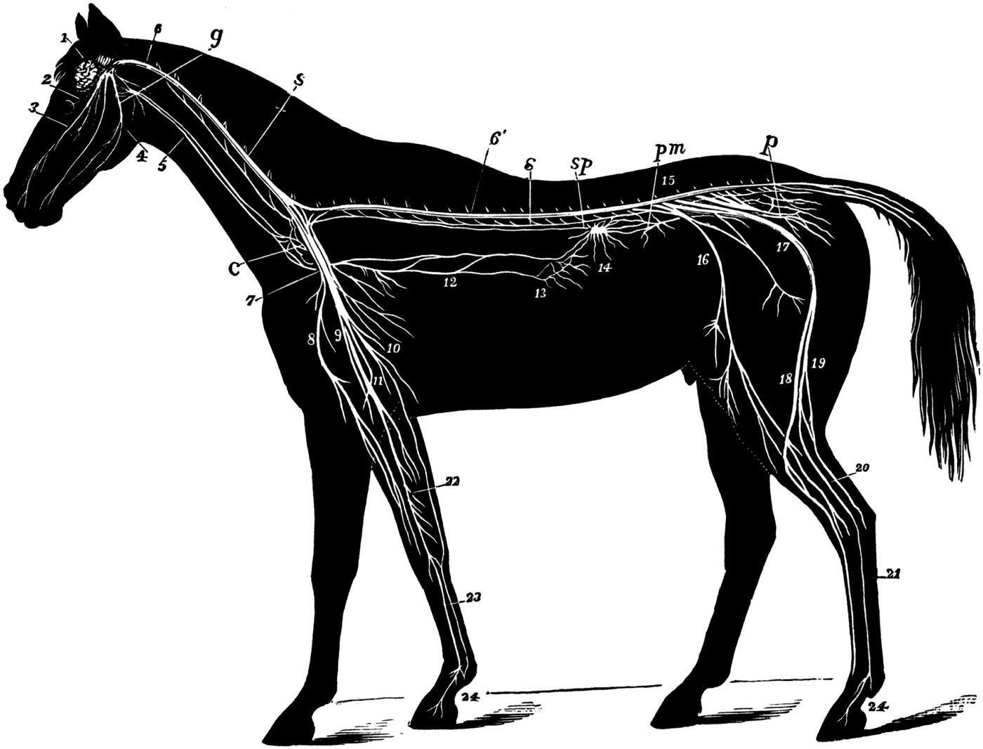 Système nerveux du cheval (3)
