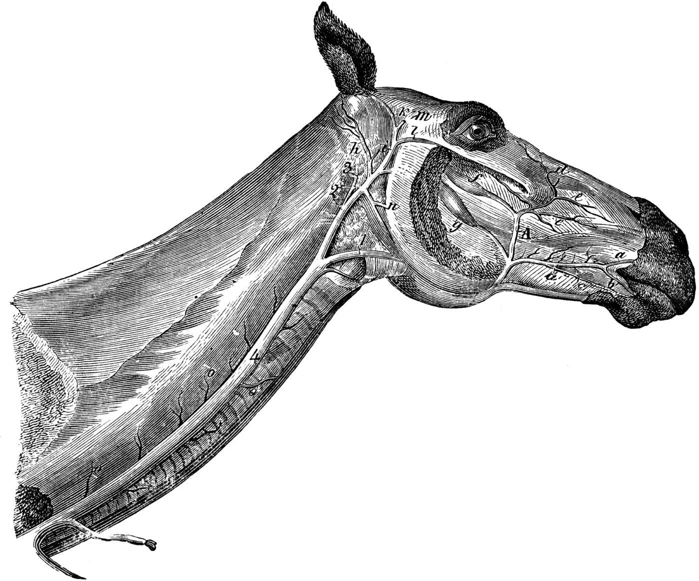 Système veineux de la face du cheval (3)